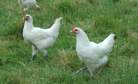 Verenpikken zit diep in het kippenbrein